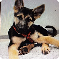 German Shepherd Dog Puppy for adoption in Los Angeles, California - MACY VON MARITZA