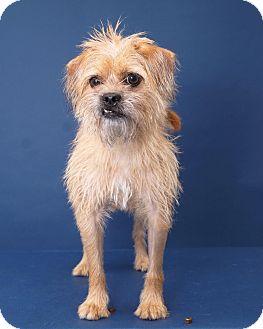 Brussels Griffon Mix Dog for adoption in Sudbury, Massachusetts - Shay