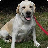 Labrador Retriever Dog for adoption in Coopersburg, Pennsylvania - Jenna