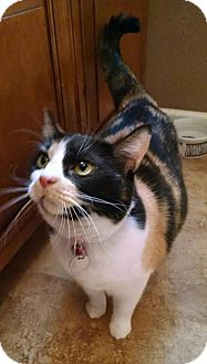 Domestic Mediumhair Cat for adoption in Glendale, Arizona - Mikayla