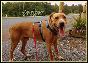 Labrador Retriever Mix Dog for adoption in Berkeley Springs, West Virginia - Dodger