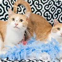 Adopt A Pet :: Findley  (DECLAW) - Muskegon, MI