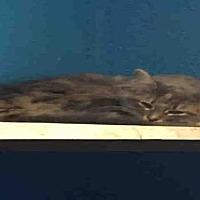 Adopt A Pet :: SHAGGY - Rogers, AR