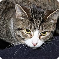 Adopt A Pet :: Bean (Bonded w/Kitty) - Marietta, OH