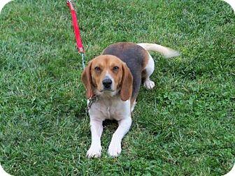 Beagle Dog for adoption in Hazard, Kentucky - Sallie Mae