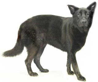 Shepherd (Unknown Type) Mix Dog for adoption in Inverness, Florida - Nala