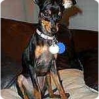 Adopt A Pet :: Pixi - Florissant, MO