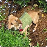 Adopt A Pet :: BLOSSOM - Portland, OR
