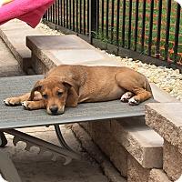 Adopt A Pet :: Susie - Midlothian, VA