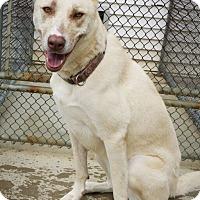 Adopt A Pet :: Big BRIDGET the loyal friend - Durham, NH