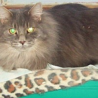 Domestic Longhair Cat for adoption in Nepean, Ontario - CHARMANT