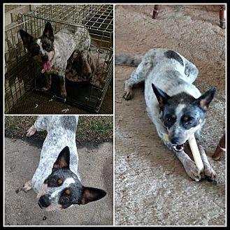 Australian Cattle Dog Mix Dog for adoption in LANSING, Michigan - Bessie