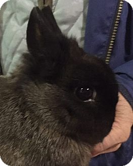 Netherland Dwarf for adoption in Seattle c/o Kingston 98346/ Washington State, Washington - Ginna