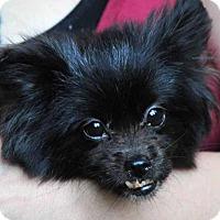 Adopt A Pet :: Millie Bug - Vernonia, OR