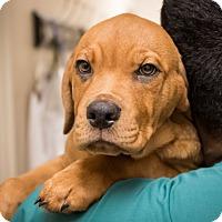 Adopt A Pet :: Digger - Dallas, TX