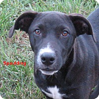 Adopt A Pet :: Spaulding-STOP!  CHOOSE ME!!! - Marlborough, MA