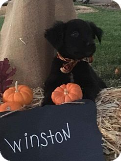 Border Collie/American Staffordshire Terrier Mix Puppy for adoption in Tracy, California - Winston