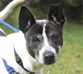 Jack Russell Terrier/Hound (Unknown Type) Mix Dog for adoption in Asheville, North Carolina - Sugar Mama