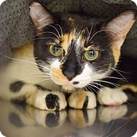 Calico Cat for adoption in Sierra Vista, Arizona - Gizmo