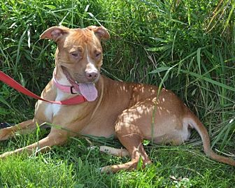 Rhodesian Ridgeback/Terrier (Unknown Type, Medium) Mix Dog for adoption in South Haven, Michigan - Lucille