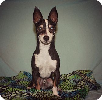 Chihuahua/Rat Terrier Mix Dog for adoption in Thorp, Wisconsin - Bob