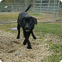 Labrador Retriever Mix Puppy for adoption in Hammond, Louisiana - Beans