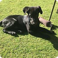 Labrador Retriever/Shepherd (Unknown Type) Mix Puppy for adoption in Scottsdale, Arizona - BLAZE