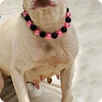 Adopt A Pet :: Callie - Broadway, NJ