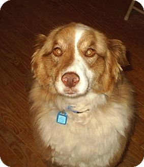 Australian Shepherd Dog for adoption in cedar grove, Indiana - Mollie