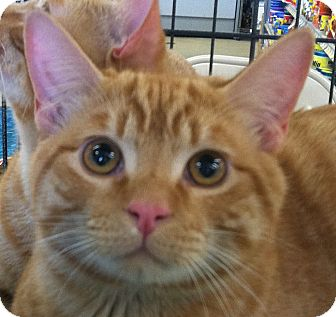 Domestic Shorthair Cat for adoption in Winchester, California - Jack