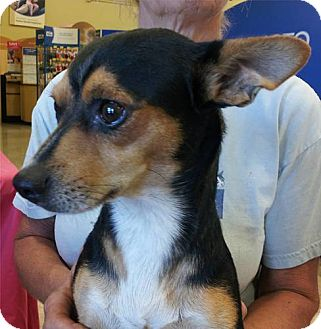 Chihuahua/Terrier (Unknown Type, Small) Mix Dog for adoption in Phoenix, Arizona - Johnny
