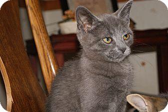 Russian Blue Kitten for adoption in Bensalem, Pennsylvania - Balu