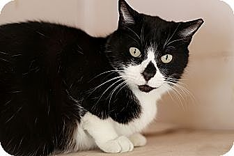 Domestic Mediumhair Cat for adoption in Redondo Beach, California - Diamond