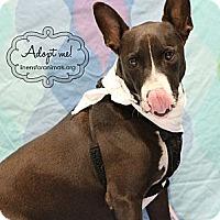 Adopt A Pet :: Clifford - McKinney, TX