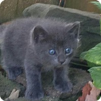 Adopt A Pet :: Babies blue - Whitestone, NY