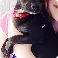 Adopt A Pet :: Iggy - Gilbert, AZ