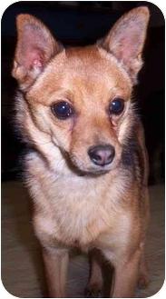 Chihuahua/Schipperke Mix Dog for adoption in Brigham City, Utah ...