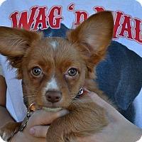 Adopt A Pet :: Yosemite - Simi Valley, CA