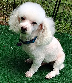 Poodle (Toy or Tea Cup) Dog for adoption in Dover, Massachusetts - Nico