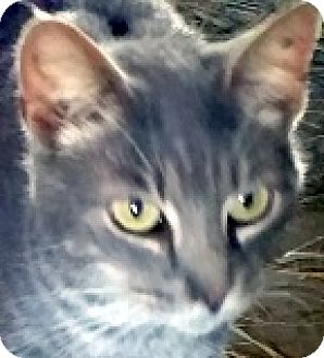 Domestic Shorthair Kitten for adoption in Germantown, Maryland - Grayson