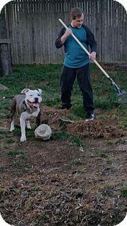 Pit Bull Terrier Dog for adoption in Williston, Vermont - Alta
