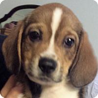 Adopt A Pet :: Patrick - Germantown, MD