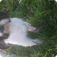 Adopt A Pet :: Teriyaki - Foristell, MO