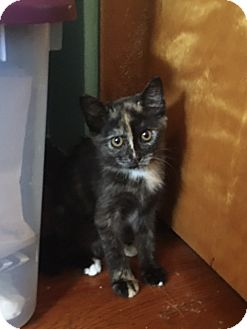 Domestic Shorthair Kitten for adoption in Greensburg, Pennsylvania - Pipi