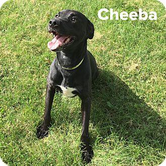 Labrador Retriever Mix Dog for adoption in Muscatine, Iowa - Cheeba