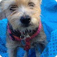 Yorkie, Yorkshire Terrier/Schnauzer (Miniature) Mix Dog for adoption in Memphis, Tennessee - Judy