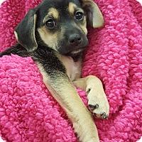 Adopt A Pet :: AF2 (Female) - Orland Park, IL
