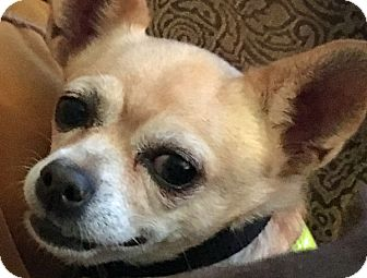 Chihuahua Mix Dog for adoption in St Louis, Missouri - Katie