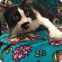 Adopt A Pet :: Puddy Tat - Addison, IL