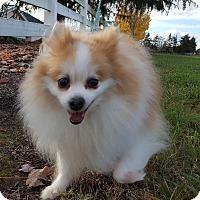 Adopt A Pet :: Juno - Vancouver, WA